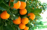 Les oranges du Portugal vous  attendent.